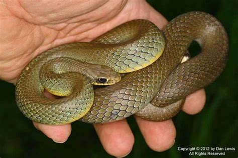 27 best reptiles and hibians images on pinterest 25 best images about snake on pinterest garter smooth