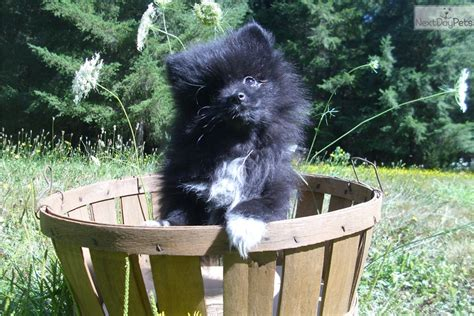 pomeranian for sale in portland oregon onyx pomeranian puppy for sale near portland oregon 83715530 64b1