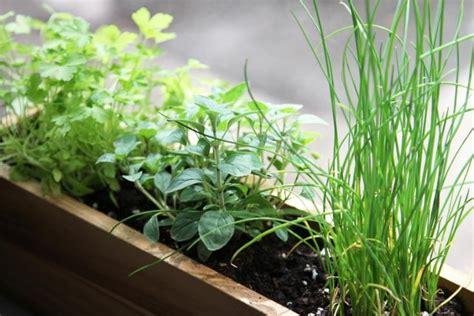 Windowsill Herbs Diy Shade Tolerant Herbs To Grow In Your Apartment