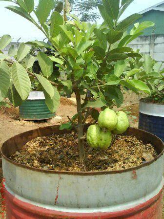 pusat distributor grosir eceran jual bibit tanaman buah jambu langka murah di