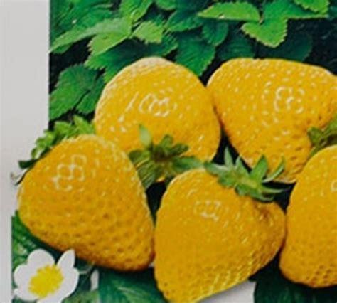 Strawberry Yellow strawberry in your garden http www growplants org