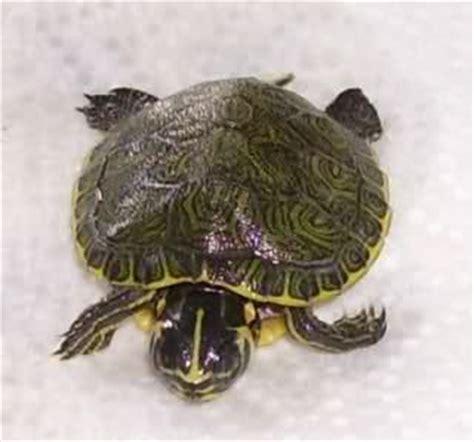 tartaruga d acqua alimentazione le mie tartarughe acquatiche pagina 2 tartaclubitalia
