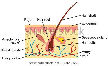 human skin hair structure anatomical sign stock vector 121646728 hair human skin anatomy illustration stock vector royalty free 583251655