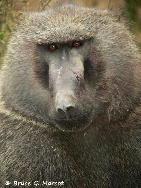 baboons head