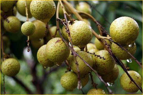 Jual Bibit Buah Jamblang jual bibit tanaman buah lengkeng 0878 55000 800 jual