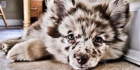 alaskan malamute cross pomeranian 20 of the coolest craziest cross breed dogs you ll see