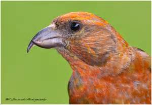 red crossbill red crossbill 219