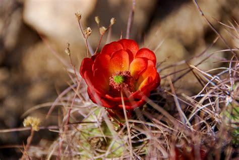 desert flower a desert flower you won t beleive how many beautiful flowe flickr
