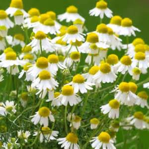 The planting and care of chamomile