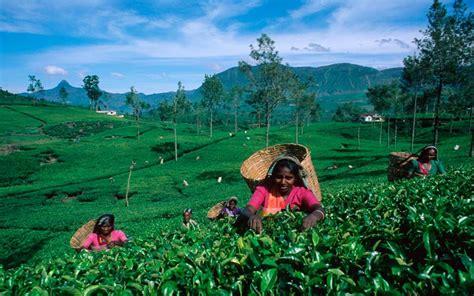 Ceylon Srilanka ceylon tea