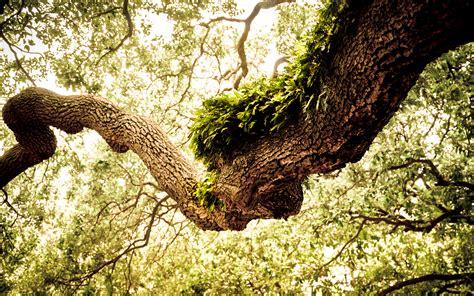in tree oak tree wallpaper green hd desktop wallpapers 4k hd