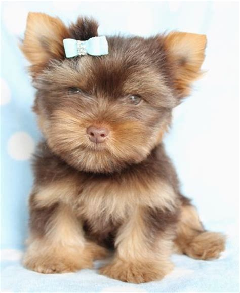 chocolate yorkies alaska pin yorkie chocolate yorkies biewer terrier parti on