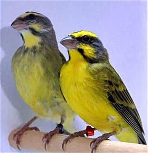 Burung Mozambik Sepasang burung mozambik burung quot canary nya quot afrika selain blackthroat
