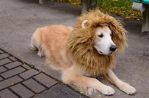 golden retriever costume golden retriever products pictures food and more