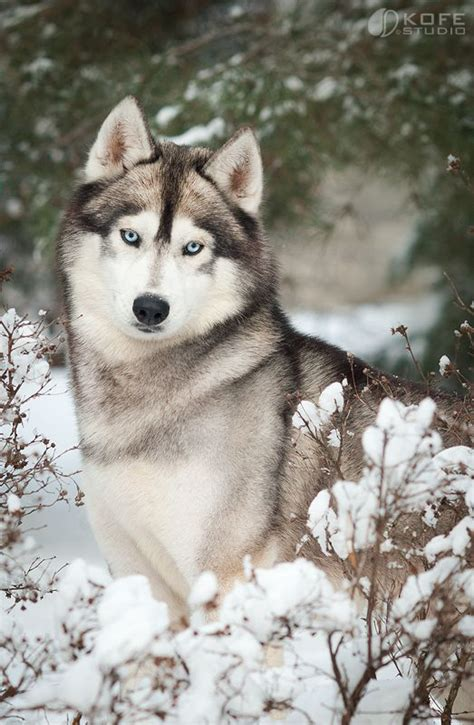 Do Wolves Shed by Best 25 Siberian Huskies Ideas On Siberian
