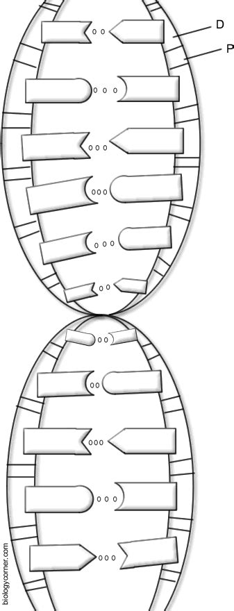 dna the double helix coloring worksheet dna