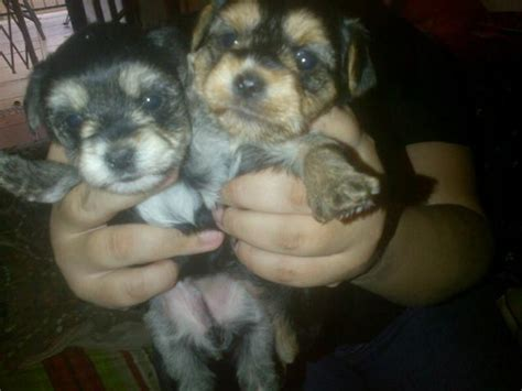 poodle yorkie mix puppies for sale mix breed puppies yorkie x poodle yorkiepoos puppies for sale rustenburg