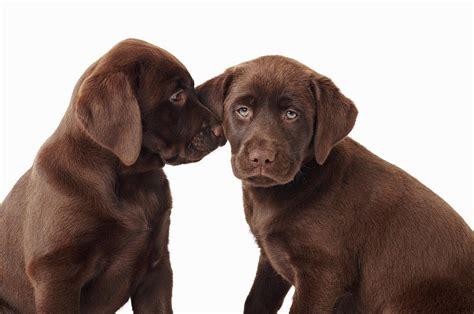 chocolate retriever puppy two chocolate labrador retriever puppies photograph by uwe krejci
