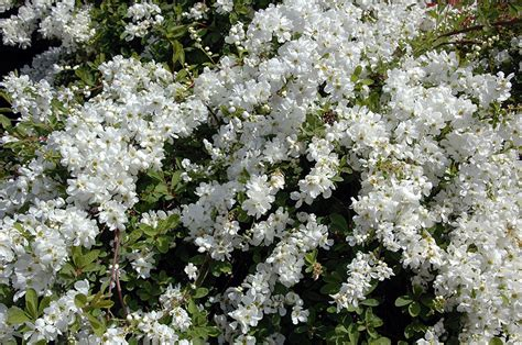 medium size shrubs for shade medium sized bushes 28 images 22 medium size shrubs for your landscape landscaping ideas