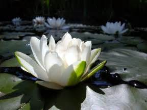 Lotus In The Water Flower Wallpaper Free Lotus Flower Wallpaper