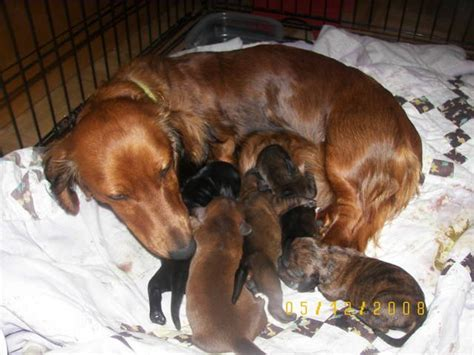 free puppies in delaware akc mini dachshund puppies 2 left for sale adoption from usa pennsylvania delaware