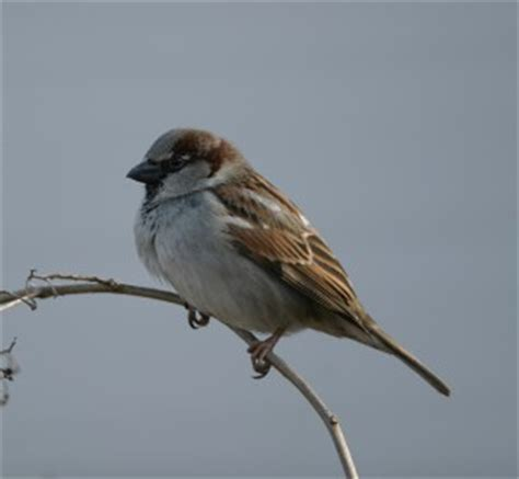 house finches and house sparrows celebrate urban birds