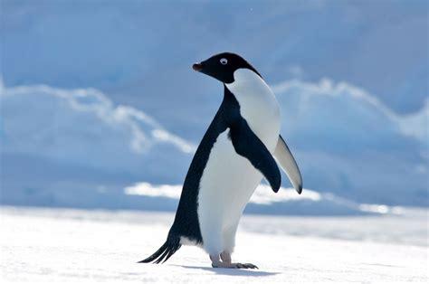 Adélie penguins — Australian Antarctic Division