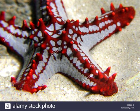 Knobbed Starfish by Knobbed Starfish Protoreaster Linckii Asteroidea Stock Photo Royalty Free Image