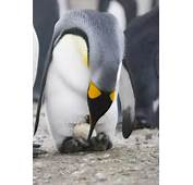 King Penguin With Egg  Facts And Information