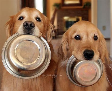 golden retriever stuff 25 best ideas about golden retrievers on golden golden retriever