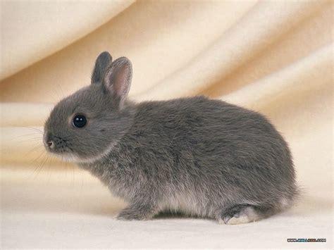grey rabbit wallpaper photo grey baby rabbit cuddly baby rabbit photos 58