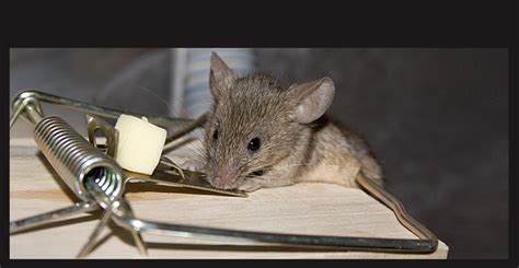 top home depot rat traps on ketch all live mouse trap cl