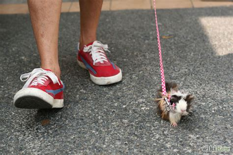 how to an on a leash how to walk a guinea pig on a leash 6 steps with pictures