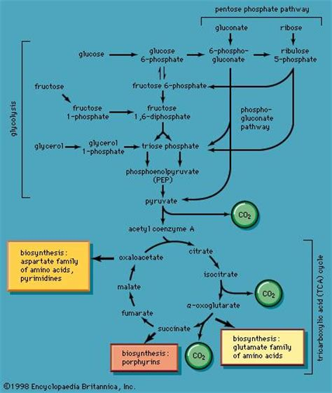 carbohydrates use in living organisms metabolism biology the study of metabolic pathways