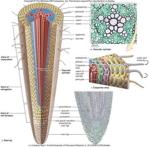monocot root diagram image gallery root diagram
