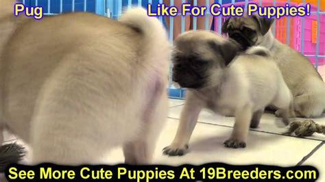 pug puppies for sale in utah pug puppies for sale in west utah county ut utah davis cache box