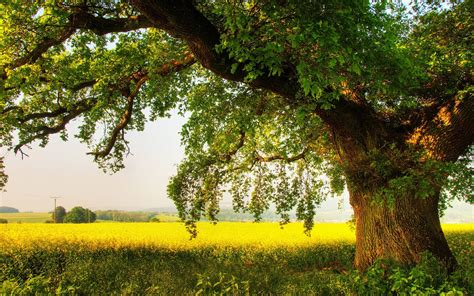wallpaper free tree oak tree wallpapers wallpaper cave