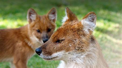 dhole puppy dhole san diego zoo animals plants