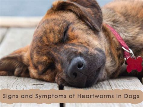 heartworm in dogs heartworms in dogs signs and symptoms