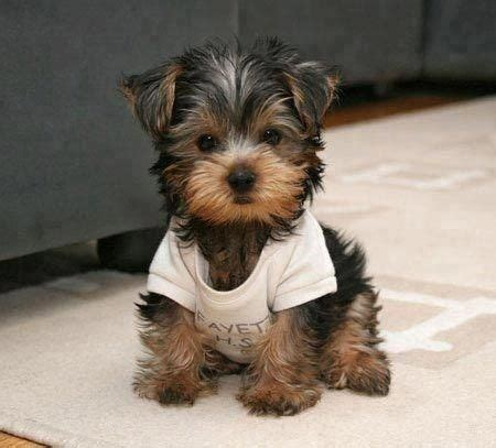 all yorkie breeds my all time favorite small breed yorkies dogs puppys types