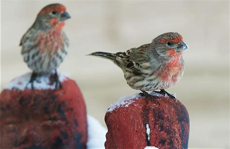 backyard birder house finch audubon field guide