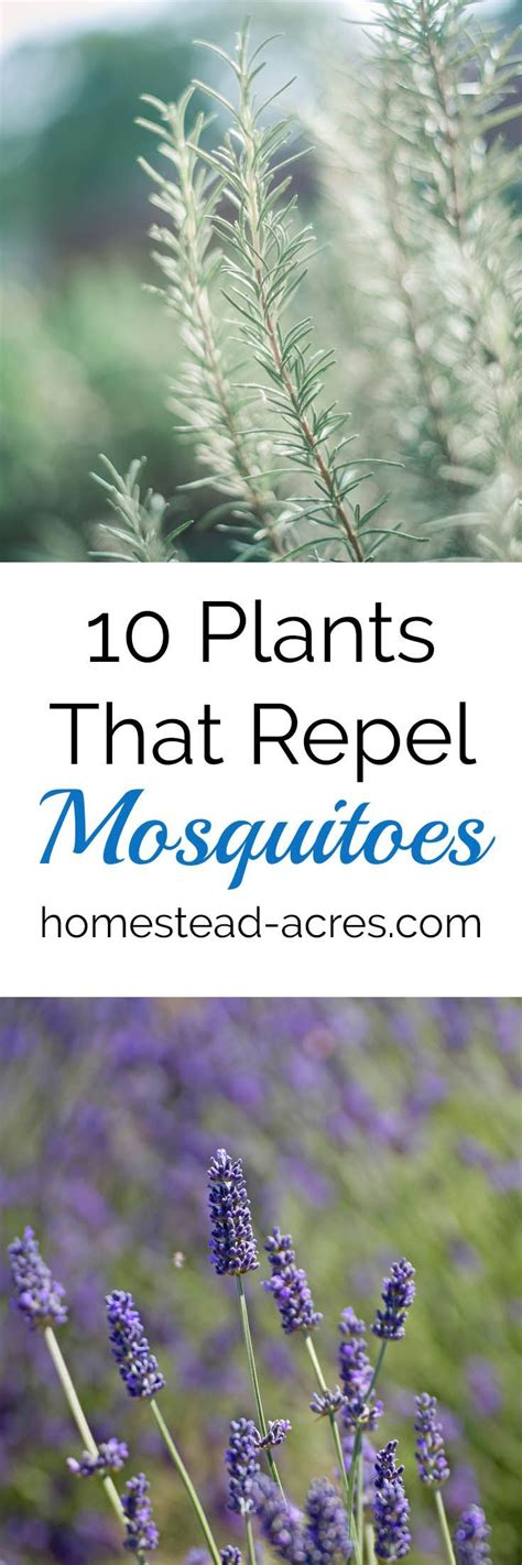 what plants keep mosquitoes away best 20 keep mosquitoes away ideas on pinterest