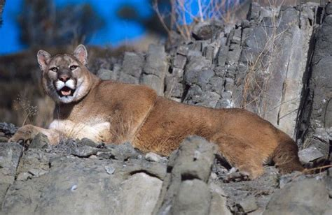 reset nvram mountain lion wyoming biologist says mountain lions are watching open