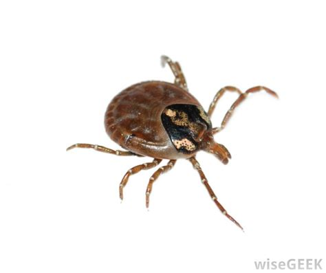 deer tick on what is a deer tick with pictures