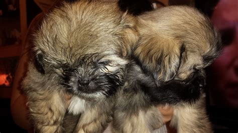 shih tzu imperial type imperial shih tzu bedworth warwickshire pets4homes