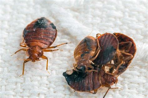 do bed bugs make you itch bedbugs invade uk blood sucking insects infesting uk homes daily star