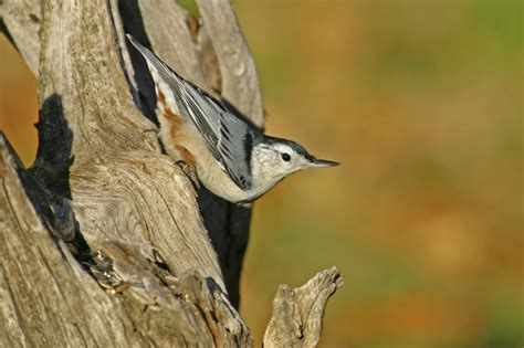 attract nut loving nuthatches
