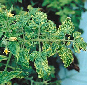 Tobacco Plant Diseases Pictures - identify prevent and treat tobacco mosaic virus in the uk