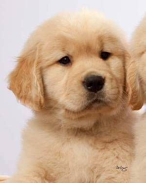 are golden retrievers bad for allergies 1000 images about adorableness on golden retriever puppies golden