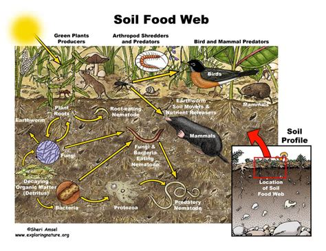 soil food web diagram soil food web
